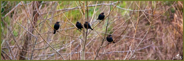 Brown-headed Cowbirds ---Click image for enlargement---