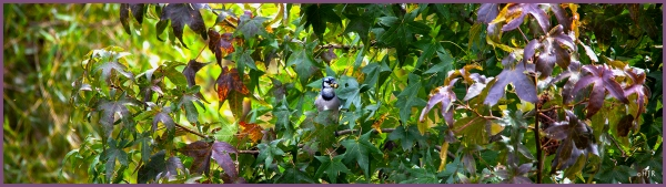 Blue Jay ---Click image for enlargement---