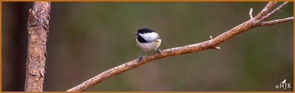 Carolina Chickadee ---Click image for enlargement---