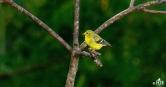 American Goldfinch (F)