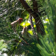 Dad House Finch and fledgeling