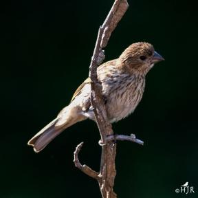 House Finch (J)