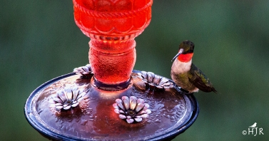 Ruby-Throated Hummingbird (M)
