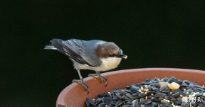 While this Nuthatch is eating, the hummer is watching