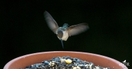 Nuthatch leaves, the Hummer is curious...