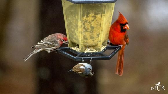 H.Finch + BHNuthatch + N. Cardinal (M)