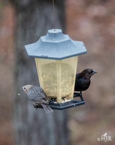 Brown-headed Cowbird (F&M)
