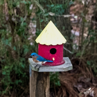Eastern Bluebird (M)