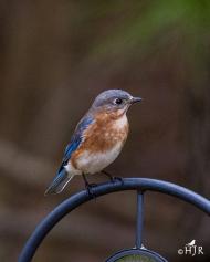 Eastern Bluebird (F)