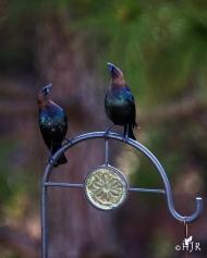 Brown-headed Cowbirds - Snob males