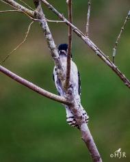 Downy Woodpecker - Shy dude.