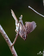Song Sparrow- Too much coffee!