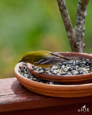 Pine Warbler- I think I'm doing things wrong.
