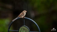 Field Sparrow- I don't think she's coming!