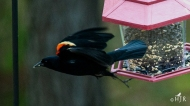 Red-winged Blackbird- I like fast food better!