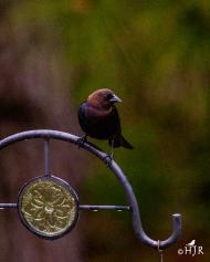 Brown-headed cowbird- Did she do it?