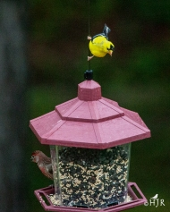 Goldfinch + House Finch- I'm top tier!