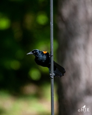 Red-winged Blackbird (M)