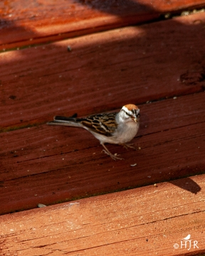 Chipping Sparrow - Who the heck swept the floor?