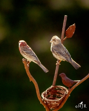 House Finch (M&F) - Yes dear!...