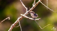 Brown-headed Nuthatch- ...but I cast a large shadow!