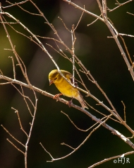 A. Goldfinch (F) - What a bunch of losers!