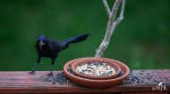 """Common Grackle - """"Why they don't have pop-corn?"""""""