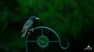 """European Starling - """"Where are all my pals?"""""""