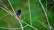 """Eastern Towhee (M)- """"I got to go on a diet!"""""""