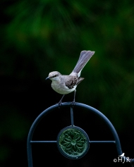"""Northern Mockingbird - """"I'm thinking of running as a Commissioner"""""""