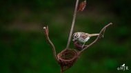 """Song Sparrow - """"You're a good friend kid!"""""""