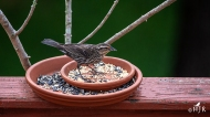 """Red-winged Blackbird (F) - """"Finally, I can eat by myself!"""""""