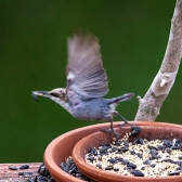 BH Nuthatch - I got no time...I'm running behind!