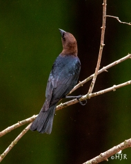Brown-headed Cowbird (M)