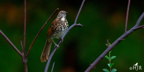 "Brown Thrasher -"" So this is the hottest joint in Georgia!"""
