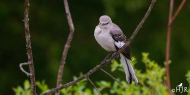 "N. Mockingbird -"" uh-uh the Sheriff is not in the mood!"""