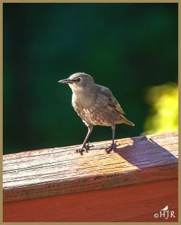 European Starling (J)
