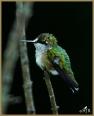 Ruby-throated Hummingbird (M)