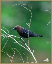 Brown-headed Cowbird (M)