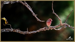 """""""Labyrinth woods?""""- House Finch (M)"""