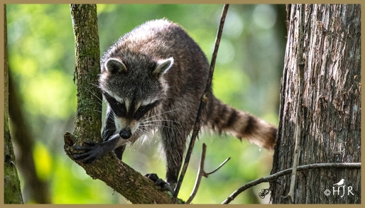 This raccoon lives in the swamp