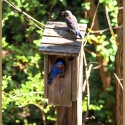 I believe these Bluebirds returned to the nest after migration.