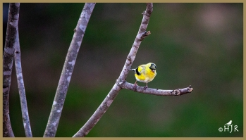 American Goldfinch starts to show breeding plumage.