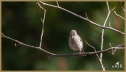 House Finch (F)