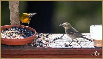 Pine Warbler (M&F)