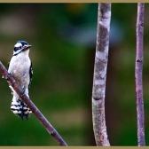 Downy Woodpecker (F)