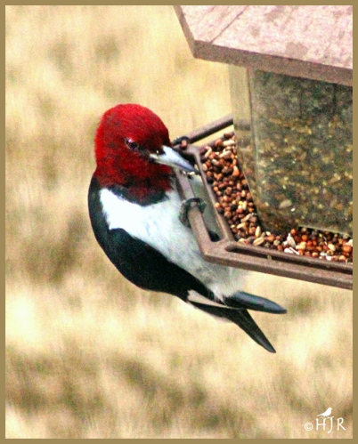 Read-headed Woodpecker