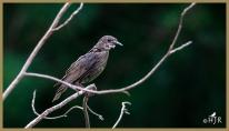 European Starling (Juv.)