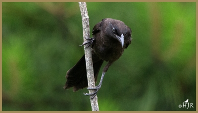 Common Grackle (Juv.)
