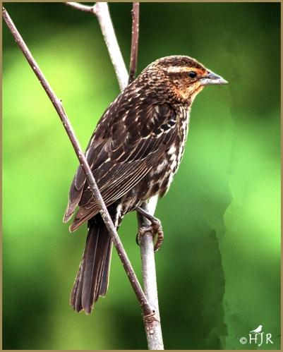 Red-winged Blackbirds (F)